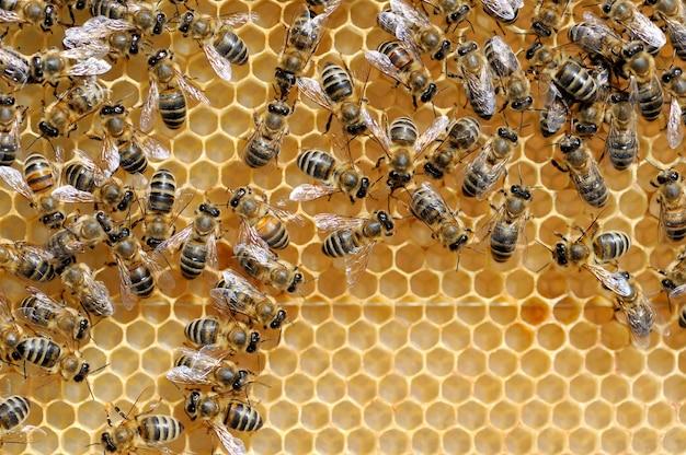 Close-up vista das abelhas trabalhando em células de mel