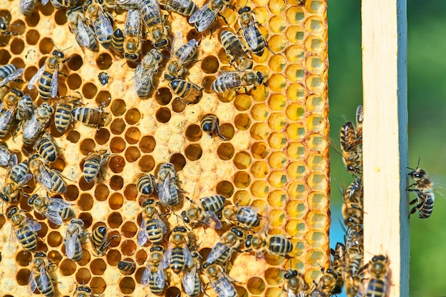 Close-up vista das abelhas trabalhando no favo de mel com mel doce. o mel é um produto saudável para a apicultura.