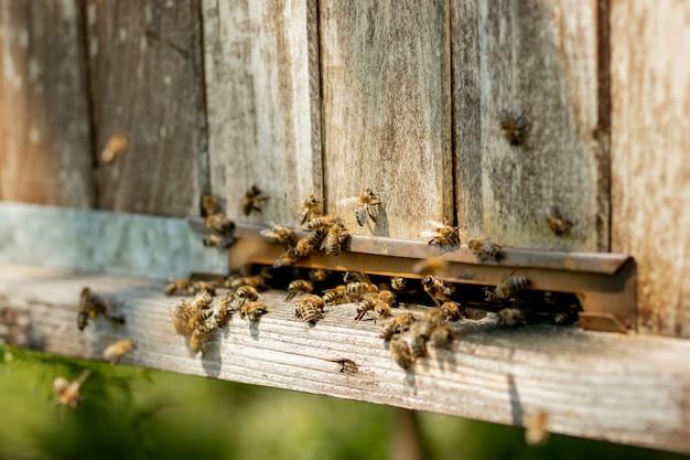 Close-up vista das abelhas trabalhando trazendo pólen de flores para a colméia em suas patas. o mel é um produto da apicultura. o mel de abelha é coletado em belos favos de mel amarelos.