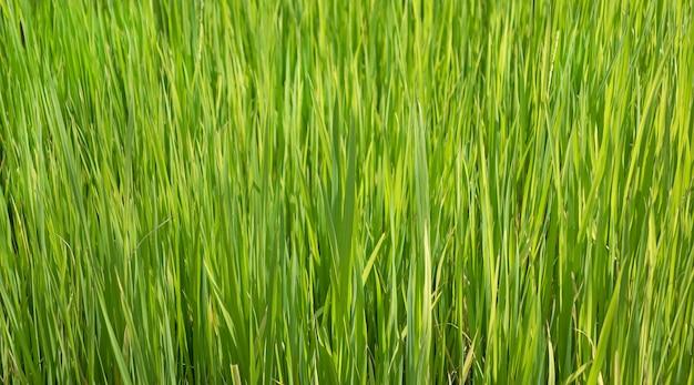 Close-up vista de cima do rebento de plantas de arroz
