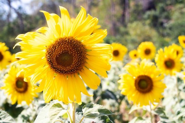 Close-up vista de flores de girassol no campo. girassol brilhante na luz do pôr do sol, close-up, foco seletivo