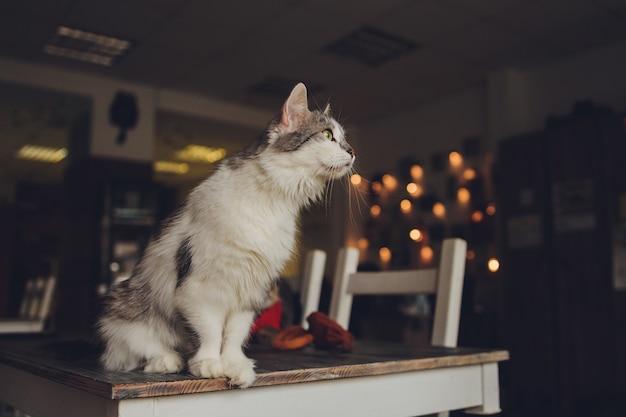 Close-up vista de um rosto de gato himalaia cinza branco voltado para a câmera em um ambiente doméstico diário.