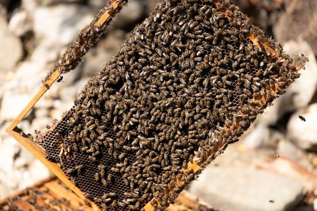 Close up vista do corpo da colmeia aberto mostrando os quadros povoados por abelhas. as abelhas rastejam em uma colmeia aberta em favos de mel de madeira do favo de mel, fazendo o trabalho em equipe. conceito de apicultura na agricultura.