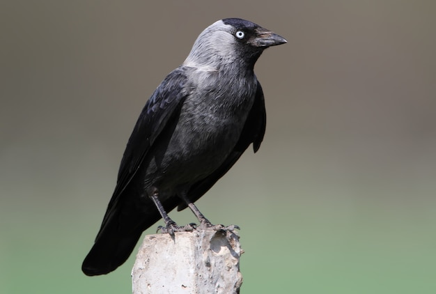 Close-up vista na gralha ocidental (corvus monedula),