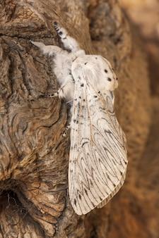 Close vertical de cerura erminea em uma casca de árvore sob a luz do sol com um fundo desfocado