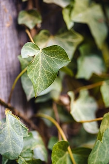 Close vertical de folhas de hera sob a luz do sol