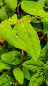 Close vertical de folhas frescas exuberantes com gotas de chuva após uma chuva à tarde
