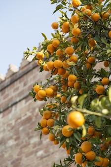 Close vertical de laranjas maduras em uma árvore com um prédio de tijolos