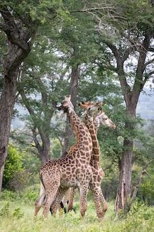 Close vertical de três girafas caminhando no deserto e comendo folhas das árvores