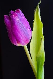 Close vertical de um botão molhado de uma tulipa rosa no escuro