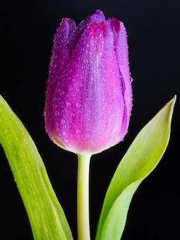 Close vertical de um botão molhado de uma tulipa rosa no preto