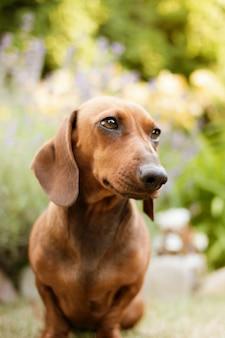 Close vertical de um cachorro bassê marrom com uma natureza borrada
