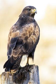 Close vertical de um falcão-de-cauda-vermelha parado na madeira sob a luz do sol em um cenário desfocado