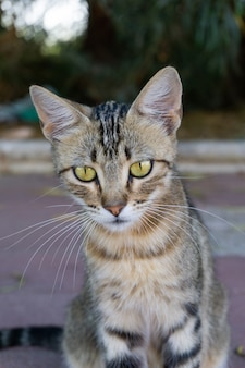 Close vertical de um gato cinza olhando para a câmera com seus olhos verdes