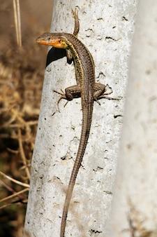 Close vertical de um lagarto-jacaré andando sobre um pedaço de madeira