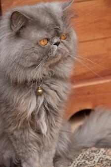Close vertical de um lindo gato persa sentado no chão de madeira