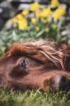 Close vertical de um setter irlandês deitado na grama com flores amarelas na