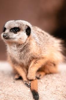 Close vertical de um suricato sentado em uma rocha sob a luz do sol
