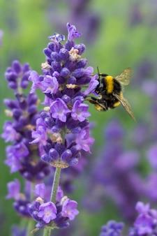 Close vertical de uma abelha em uma flor de lavanda com vegetação no fundo
