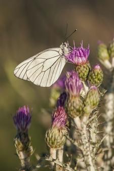 Close vertical de uma borboleta branca em uma linda flor roxa