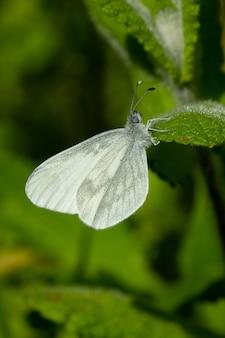 Close vertical de uma borboleta leptidea sinapis branca sentada em uma flor em um jardim