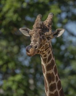 Close vertical de uma girafa lambendo o nariz com um fundo natural desfocado