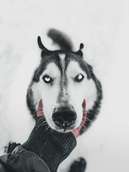 Close vertical de uma mão humana segurando o rosto de um cão husky