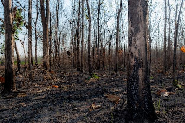 Closeup a árvore em forrest após queima de fogo