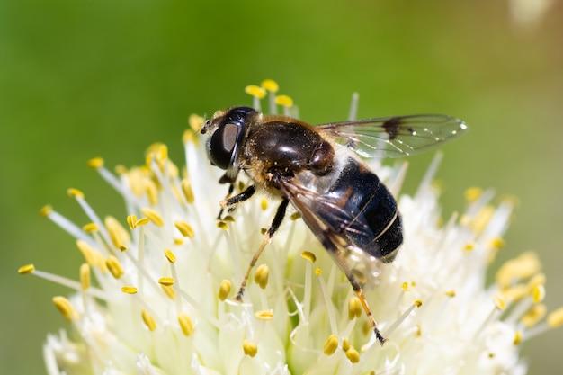 Closeup, abelha em uma flor de cebola coleta pólen, polinização de flores. as abelhas se beneficiam.