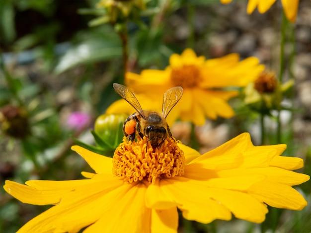 Closeup abelha polinizando flor amarela em belo jardim