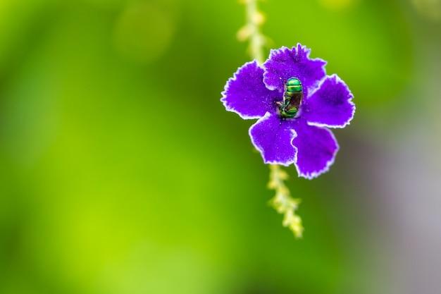 Closeup animal bug na duranta azul roxo ou flor de gota de orvalho dourado
