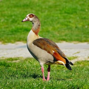 Closeup bela foto de um pato marrom na grama