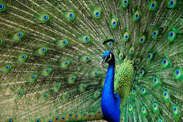 Closeup bela foto de um pavão com a cauda aberta