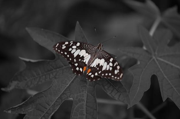 Closeup borboleta monocromática em uma folha.
