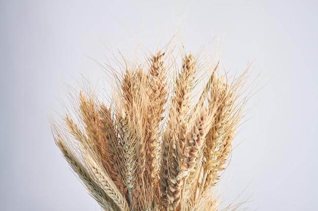 Closeup buquê de espigas de trigo isolado no fundo branco