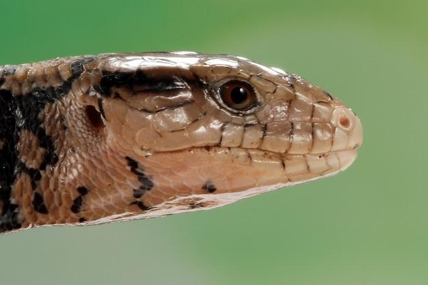 Closeup cabeça de lagartos panana closeuup de lagarto panana