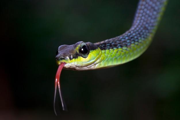 Closeup cabeça dendrelaphis formosus cobra dendrelaphis formosus cobra cloesup