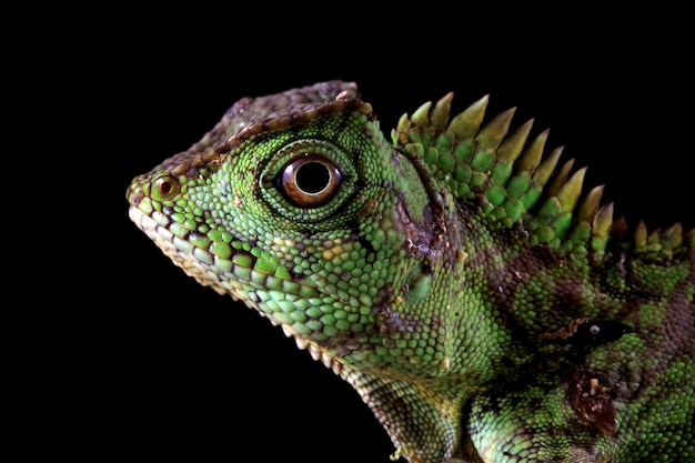 Closeup cabeça gonocephalus doriae vista lateral