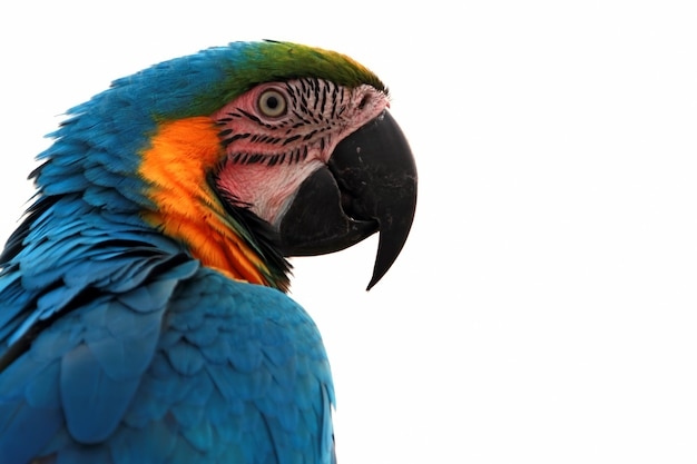 Closeup cabeça scarlet macaw de