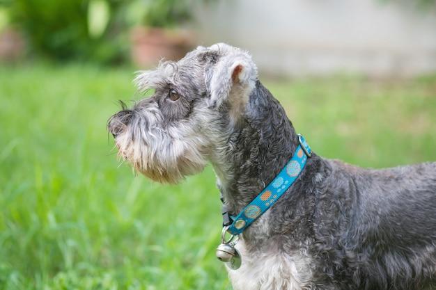 Closeup, cachorro schnauzer, olhar, ligado, chão grama borrado, frente, casa, vista, fundo