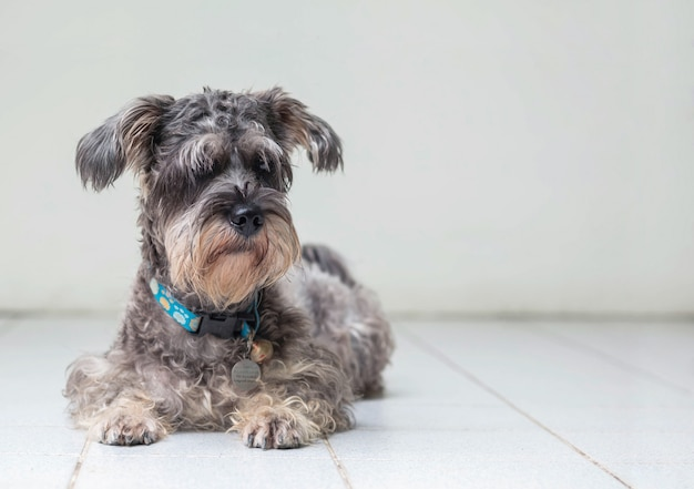 Closeup, cachorro schnauzer, olhar, ligado, obscurecido, piso cerâmico, e, cimento branco, parede, frente, casa, vista, fundo, com, espaço cópia