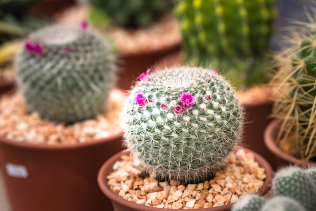 Closeup cacto flores, cacto de flor rosa no berçário