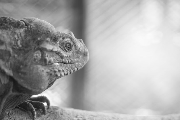 Closeup camaleão se agarram na madeira na gaiola animal turva texturizado fundo em tom preto e branco, com espaço de cópia