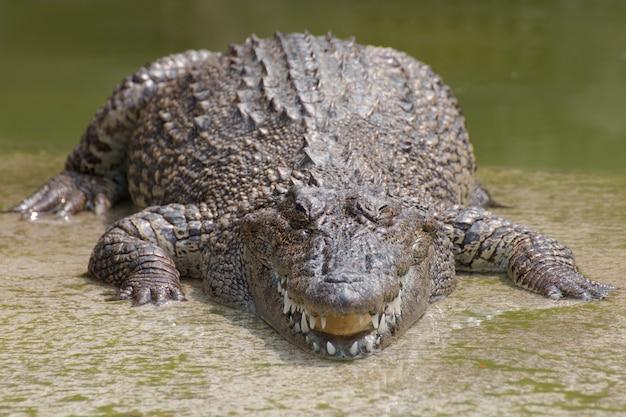 Closeup capítulos dos crocodilos.
