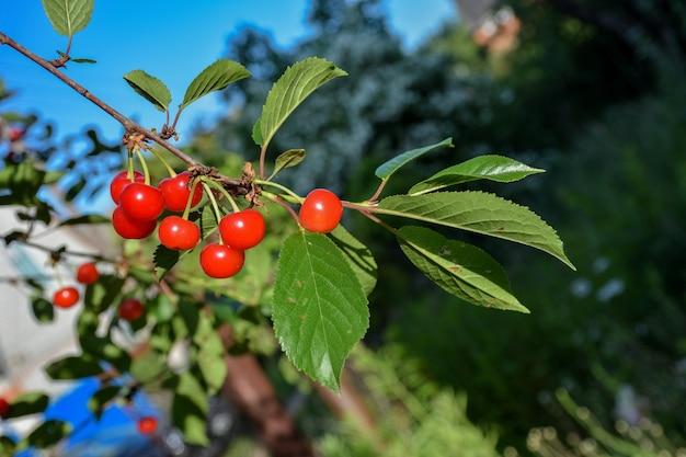 Closeup cereja fruta em um galho cereja fruta em um galho vermelho baga em um galho
