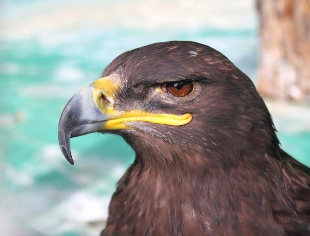 Closeup de águia tawny estepe