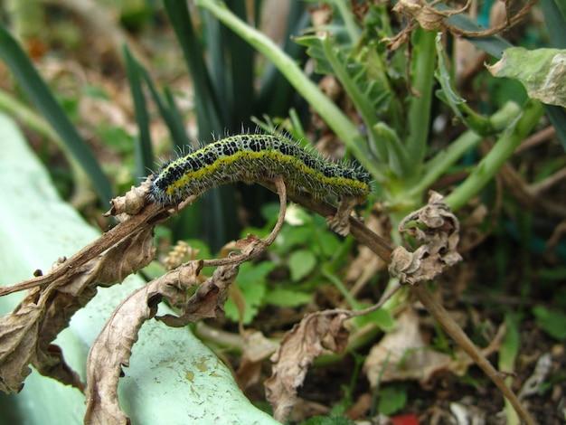 Closeup de ângulo alto de uma lagarta da borboleta branca de repolho comendo folhas