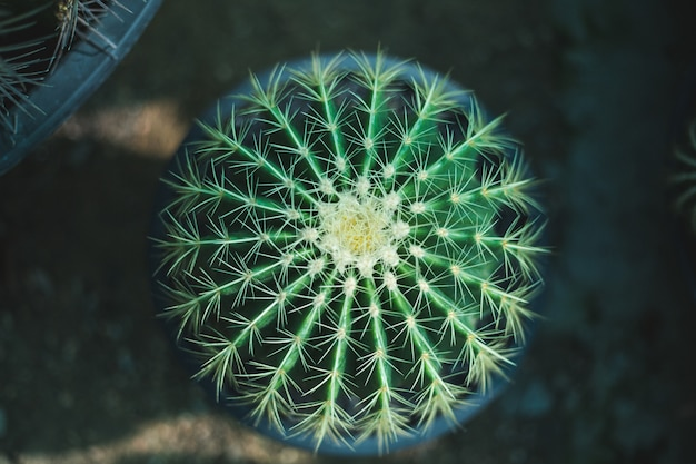 Closeup de árvore de cacto