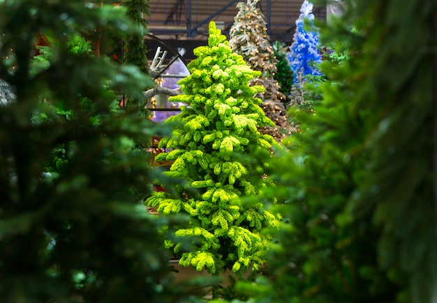 Closeup de árvores de natal, loja de decoração de natal, ano novo. celebração tradicional do feriado de inverno