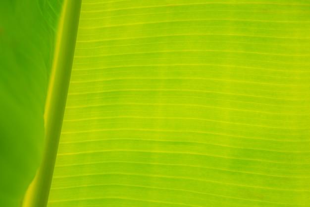 Closeup de banana deixa em árvores de banana que ver a superfície da textura de fundo através da luz